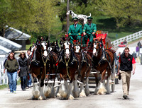 Budweiser Clydesdales during the 2013 Keeneland Spring Meet